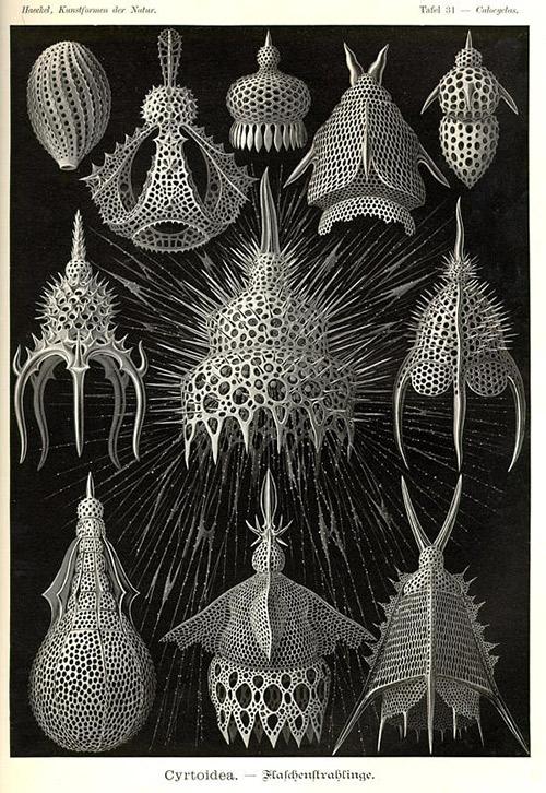 Cyrtoidea – Ernst Haeckel